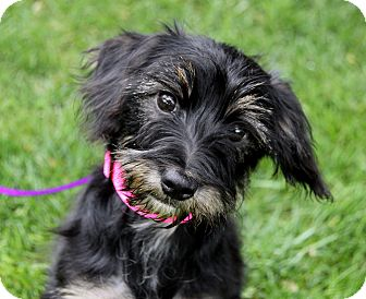 Schnauzer (Miniature) Mix Puppy for adoption in Newport Beach, California - PIPPA