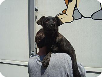 Labrador Retriever/Shepherd (Unknown Type) Mix Puppy for adoption in Old Bridge, New Jersey - Toby