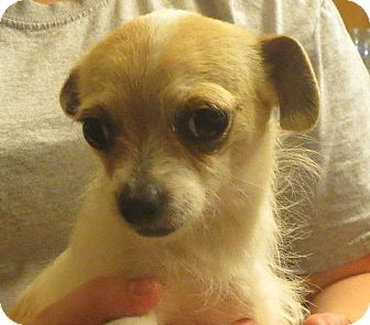 Chihuahua Mix Puppy for adoption in Westport, Connecticut - Josephine