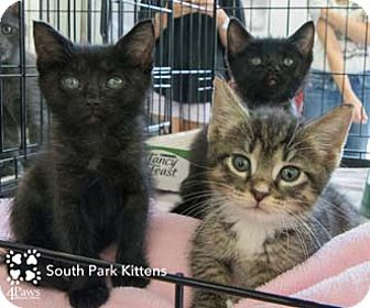Domestic Shorthair Kitten for adoption in Merrifield, Virginia - Kenny