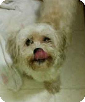 Bichon Frise Mix Dog for adoption in Philadelphia, Pennsylvania - Queenie