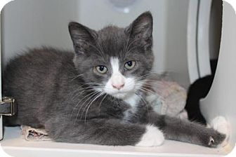 Domestic Shorthair Kitten for adoption in Hamilton, Ontario - Angelina
