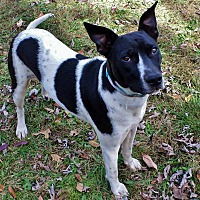 Border Collie/Pit Bull Terrier Mix Dog for adoption in Oakland, Arkansas - PATRICIA