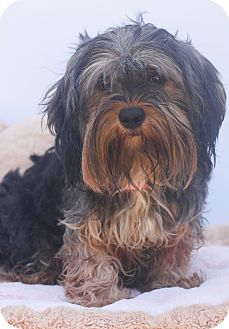 Yorkie, Yorkshire Terrier Mix Dog for adoption in Auburn, California - Doc McStuffins