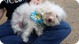 Bichon Frise Mix Dog for adoption in Ridgefield, Connecticut - February