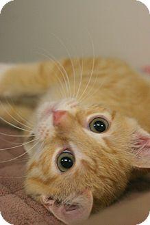 Domestic Shorthair Kitten for adoption in Staunton, Virginia - Dash