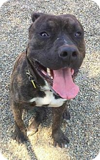 Terrier (Unknown Type, Medium)/American Pit Bull Terrier Mix Dog for adoption in Fulton, Missouri - Balboa- Ohio