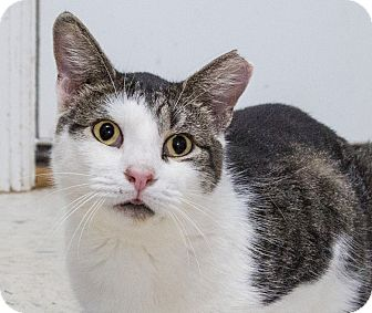 Domestic Shorthair Cat for adoption in Elmwood Park, New Jersey - Franklin