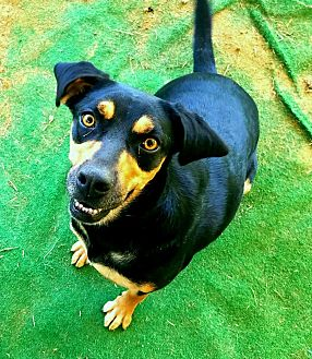 Black and Tan Coonhound Dog for adoption in Graceville, Florida - Dixie  #5
