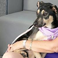 Adopt A Pet :: STELLA BELLA - Fort Lauderdale, FL