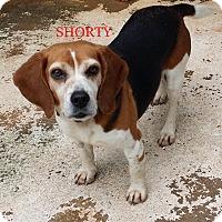 Adopt A Pet :: SHORTY - Ventnor City, NJ