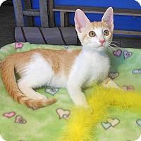 Adopt A Pet :: Maverick - Glendale, AZ