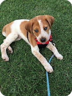 Australian Cattle Dog/Australian Shepherd Mix Puppy for adoption in Plano, Texas - Jasmine