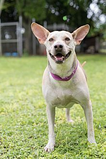 Terrier (Unknown Type, Medium) Mix Dog for adoption in Key Biscayne, Florida - Loly