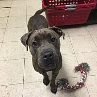 Adopt A Pet :: Rhea- Ohio - Fulton, MO