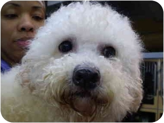 Bichon Frise Dog for adoption in Westport, Connecticut - Riley