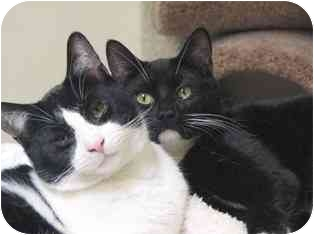 Domestic Shorthair Kitten for adoption in Norwalk, Connecticut - Reeses & Sasha