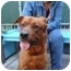 Photo 1 - Retriever (Unknown Type)/Chow Chow Mix Dog for adoption in Long Beach, New York - Rusty Red