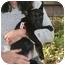 Photo 2 - Basenji/Labrador Retriever Mix Puppy for adoption in Concord, California - Renee
