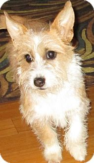 Terrier (Unknown Type, Small) Mix Dog for adoption in Mission Viejo, California - GINGER