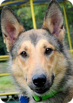 Collie/German Shepherd Dog Mix Dog for adoption in Wakefield, Rhode Island - LASSIE BOY(SO SMART-GORGEOUS!!