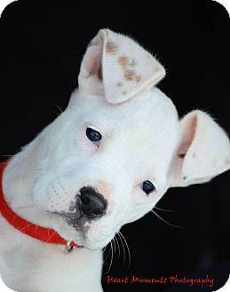 Boxer Puppy for adoption in Dacula, Georgia - Aspen