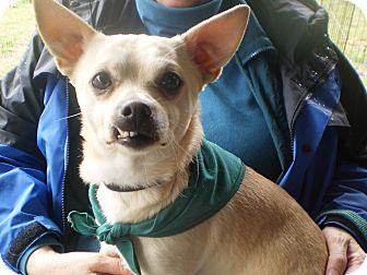 Chihuahua Dog for adoption in Sylva, North Carolina - Cocoa