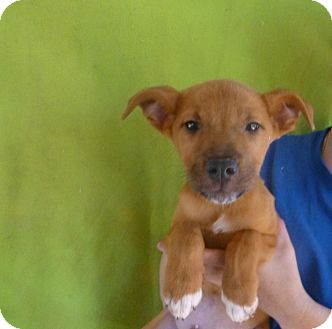 German Shepherd Dog/Labrador Retriever Mix Puppy for adoption in Oviedo, Florida - Mac