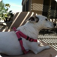 Adopt A Pet :: LUCY IV - Scottsdale, AZ