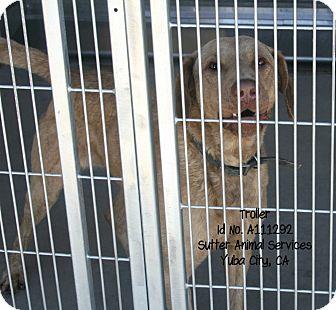 Chesapeake Bay Retriever Mix Dog for adoption in Yuba City, California - 05/30 Troller