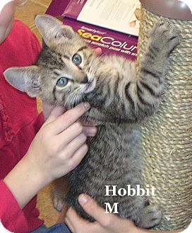 Domestic Shorthair Kitten for adoption in Bentonville, Arkansas - Hobbit
