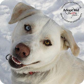 Labrador Retriever/Husky Mix Dog for adoption in Lyons, New York - Penny
