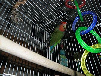 Lovebird for adoption in Neenah, Wisconsin - Jessi