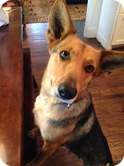 Corgi/Shepherd (Unknown Type) Mix Dog for adoption in Saddle Brook, New Jersey - PIPER