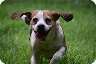 Beagle Mix Dog for adoption in Petersburg, Virginia - Ginley