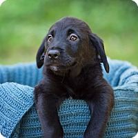 Adopt A Pet :: Cider - Lewisville, IN