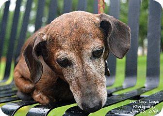 Dachshund Dog for adoption in Toronto, Ontario - Chrissy