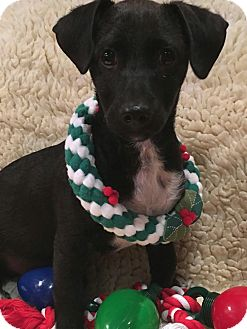 Dachshund/Beagle Mix Puppy for adoption in Yorba Linda, California - Turbo