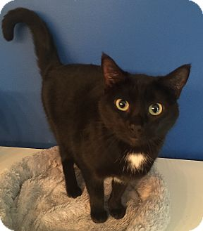 Domestic Shorthair Cat for adoption in Mount Pleasant, South Carolina - Belladonna
