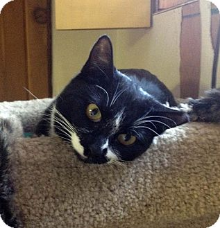 Domestic Shorthair Cat for adoption in Lombard, Illinois - Purdy