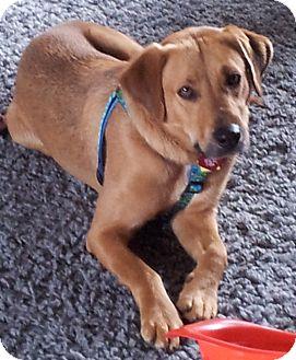 Labrador Retriever Mix Dog for adoption in Huntsville, Alabama - Pooh Bear