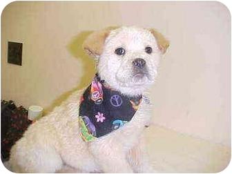 Labrador Retriever Mix Puppy for adoption in Burnsville, North Carolina - Shirley