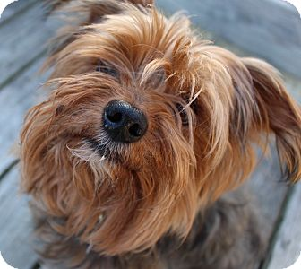Yorkie, Yorkshire Terrier Dog for adoption in Grafton, Massachusetts - Rocco
