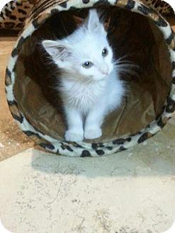 Domestic Mediumhair Kitten for adoption in Phoenix, Arizona - Yeti