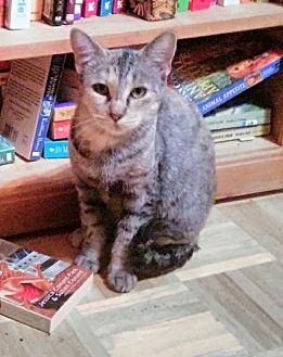 Domestic Shorthair Cat for adoption in Glendale, Arizona - Violet, Countess of Grantham
