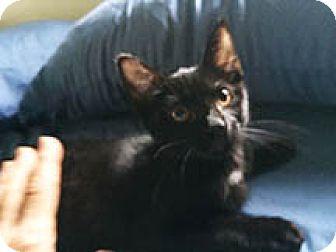 American Shorthair Kitten for adoption in Metairie, Louisiana - Bebe
