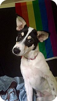 Jack Russell Terrier/Rat Terrier Mix Dog for adoption in Spring, Texas - CeCe