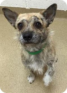 Cairn Terrier Mix Dog for adoption in Miami, Florida - Sweets
