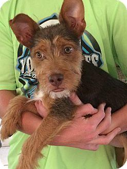 Welsh Terrier/Lakeland Terrier Mix Puppy for adoption in Harrisonburg, Virginia - Teddy