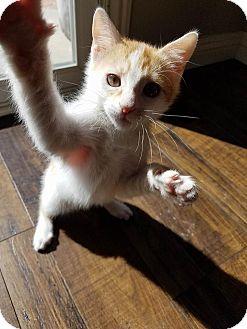 Domestic Mediumhair Kitten for adoption in Saugus, California - Bourbon
